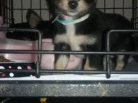 I have 2 female longhair chihuahuas available, 8 weeks