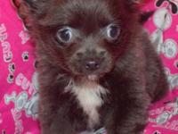 I have 5 longhair Chihuahua puppies 2 females 3 males