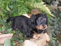 Gorgeous CKC longhair miniature Dachshund young puppies