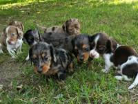 Adorable longhaired miniature dachshund puppies for
