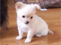 I have a beautiful male longhaired chihuahua puppy that