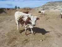 Registered Texas Longhorn bull yearling very big for