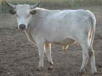 18 month old Longhorn bull asking $650 or best offer. 3
