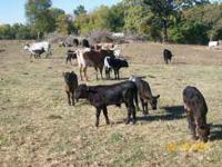 I have longhorn/corriente cross cattle for sale. I have