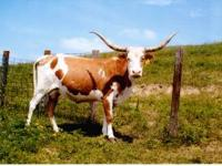 2 Bred Cows (Royal - pictured below is the sire) -