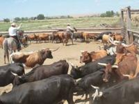 40 Longhorn cow/calf pairs for sale. Extremely