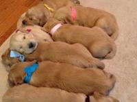Fantastic 3 week old Golden Retriever young puppies for