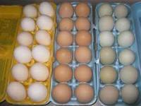 chicken are free range very healthy Organic GRADE A EGG