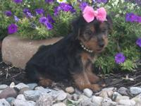 """Petunia"" is an adorable Yorkie female who loves to"
