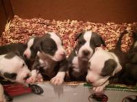 I Have 6 Beautiful Purple Ribbon Pit bull Pups left.