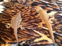 I have a reproducing pair of Citrus bearded dragons.