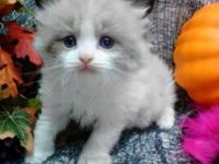 We have the following 2 Ragdoll Kittens that will be