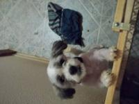 Hi i am looking for a purebred maltese,maltese mix, or