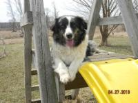 Looking for a male purebred australian shepherd male. I