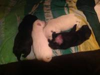 Iam looking for a Bassets hound puppy can be a girl or