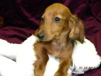 SILKY is a female longhair dark red dapple miniature
