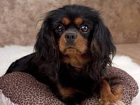 Hello! I am looking to adopt a Cavalier King Charles