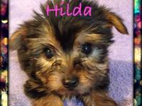 I'm looking for a female yorkie puppy that will be 5lbs