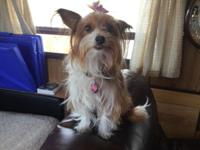 Looking For a Stud for our Parti-Yorkie female. She