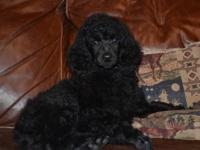 I am looking for a Standard Poodle female. I want a
