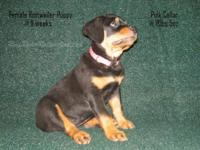 Lovely, huge, positive, show-quality Rottweiler young