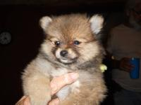 I'm looking to get a white female Pomeranian. She