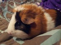 Looking to adopt a pair of young guinea pigs.. Prefer
