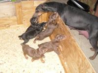 Hello! I am looking for a fawn and a blue AKC Doberman