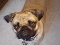Doug is a full breed 2 year old pug. We decided not to