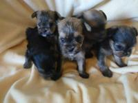 I am looking for a female yorkie or yorkie mix female