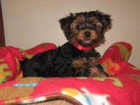 I am looking for a Black and Tan akc registered good
