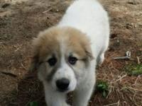 Great Pyrenees ready for her fur ever home. First shot