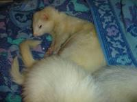 Very sweet neutered male ferrets from Marshall Farms,