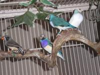 Hi; I am a hobby breeder of Lady Gouldian finches. I