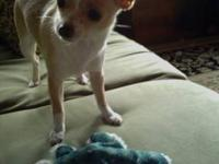 Looking for a male purebred Chihuahua or