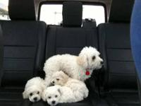 I am looking for a small female toy poodle puppy around