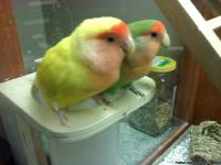 Looking for YOUNG Male Lovebird to pair with my female