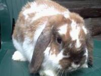Lop Eared - Baby - Medium - Young - Female - Rabbit I