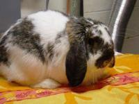 Lop Eared - Bailey - Medium - Adult - Male - Rabbit