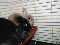 Lop Eared - Bailey - Small - Young - Female - Rabbit