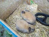 I have 2 Purebred Lop Eared Bunnies 10 weeks