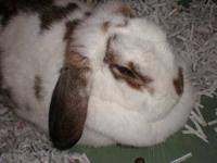 Lop Eared - Hutch - Large - Adult - Male - Rabbit Hutch