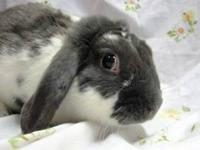 Lop Eared - Jack - Medium - Young - Male - Rabbit
