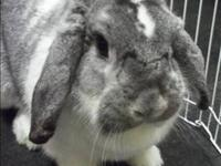 Lop Eared - Journey - Medium - Adult - Female - Rabbit