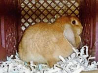 Lop Eared - Lily - Medium - Young - Female - Rabbit