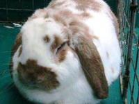 Lop Eared - Marley A15379072 - Small - Adult - Female -