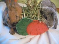 Lop Eared - Medium - Young - Male - Rabbit