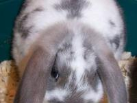 Lop Eared - Milo - Small - Young - Male - Rabbit