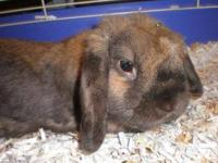 Lop Eared - Molly - Large - Adult - Female - Rabbit