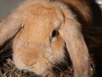 Lop Eared - Olivia - Medium - Young - Female - Rabbit